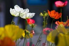 五颜六色的鸦片在花圃里 库存图片
