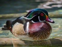 五颜六色的鸭子在水中 库存图片