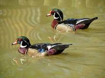 五颜六色的鸭子在湖 免版税库存照片