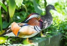 五颜六色的鸭子普通话 鸳鸯是其中一只我们的行星最美丽的鸟  当然,我们谈论德雷克 免版税库存照片