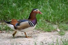 五颜六色的鸭子普通话 库存照片