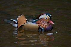 五颜六色的鸭子普通话 图库摄影