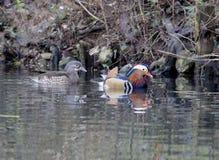 五颜六色的鸭子普通话 免版税图库摄影