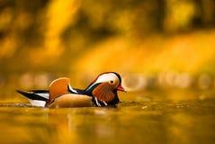 五颜六色的鸭子普通话 库存图片