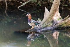 五颜六色的鸭子普通话 免版税库存图片