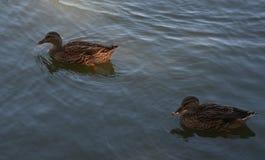 五颜六色的鸭子 图库摄影