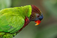 五颜六色的鹦鹉在鸟公园,新加坡 库存图片