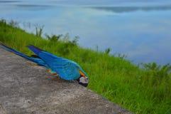五颜六色的鹦鹉在Thail 库存图片