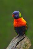 五颜六色的鹦鹉彩虹, Lorikeets Trichoglossus haematodus,坐分支,动物在自然栖所,澳大利亚 免版税库存照片