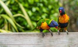 五颜六色的鹦鹉彩虹Lorikeets在动物园里 库存照片
