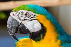 五颜六色的鹦鹉金刚鹦鹉在动物园里 免版税库存照片