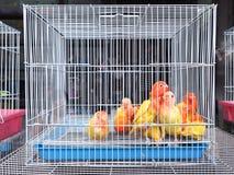 五颜六色的鹦鹉鸟里面在笼子 免版税库存照片