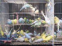 五颜六色的鹦鹉鸟里面在笼子 库存图片