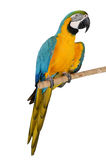 五颜六色的鹦鹉 免版税库存图片