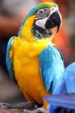 五颜六色的鹦鹉 库存图片