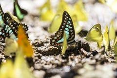 五颜六色的黄色、绿松石和桔黄色热带蝴蝶在地面会集了 库存图片