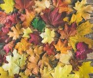 五颜六色的黄色和红色下落的槭树叶子平位置  免版税库存照片