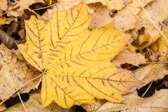 五颜六色的黄色秋天叶子 库存照片