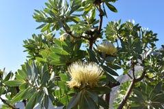 五颜六色的黄色花在植物园里在开普敦在南非 库存照片