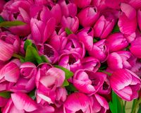 五颜六色的黑暗的紫罗兰色假郁金香顶视图 免版税图库摄影