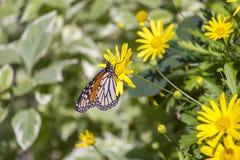 五颜六色的黑脉金斑蝶坐黄色雏菊 免版税库存照片