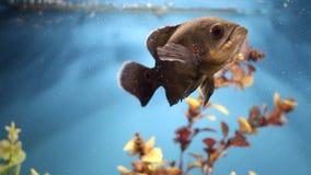 五颜六色的水族馆 在一个家庭水族馆的美好的鱼游泳 鱼Astronotus ocellatus青少年的游泳水族馆 在t的异乎寻常的鱼 股票录像