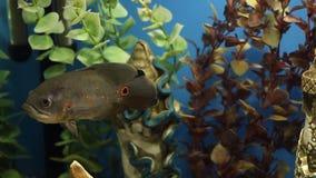五颜六色的水族馆 在一个家庭水族馆的美好的鱼游泳 鱼Astronotus ocellatus青少年的游泳水族馆 股票录像