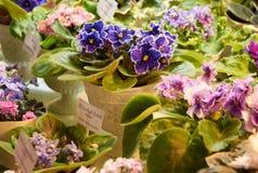 五颜六色的紫罗兰绽放 免版税库存照片
