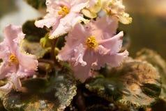 五颜六色的紫罗兰绽放 库存图片