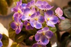 五颜六色的紫罗兰绽放 免版税库存图片