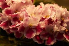 五颜六色的紫罗兰绽放 库存照片