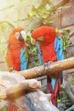 五颜六色的绿翅鸭金刚鹦鹉鸟舍夫妇,坐日志 库存照片