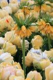 五颜六色的黄色冠皇家春天郁金香美好的风景  免版税图库摄影
