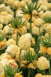 五颜六色的黄色冠皇家春天郁金香美好的风景  库存图片