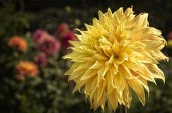 五颜六色的黄色大丽花花园 免版税库存图片