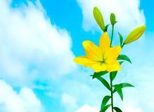 五颜六色的黄色百合 库存照片
