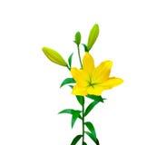 五颜六色的黄色百合 免版税图库摄影