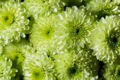 五颜六色的绿色菊花花束  关闭 免版税库存照片