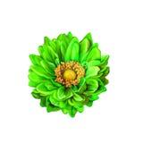 五颜六色的绿色蒙娜丽莎花,春天绽放 图库摄影