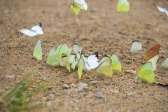 五颜六色的蝴蝶在泰国 库存图片