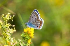 五颜六色的蝴蝶特写镜头 蓝色桔子蛛丝飞过了三叶草花的Polyommatus艾卡罗计 夏时绿叶上色 库存照片