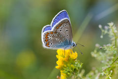 五颜六色的蝴蝶特写镜头 蓝色桔子蛛丝飞过了黄色花的Polyommatus艾卡罗计 夏时风景 免版税库存照片