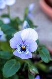五颜六色的蝴蝶花花 免版税库存照片