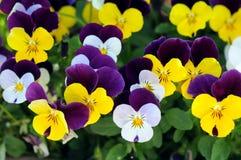 五颜六色的蝴蝶花 免版税库存照片