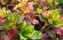 五颜六色的巴豆叶子在密林 图库摄影