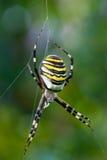 五颜六色的Argiope蜘蛛 免版税图库摄影