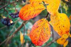 五颜六色的Aronia叶子在10月,宏指令 免版税库存图片