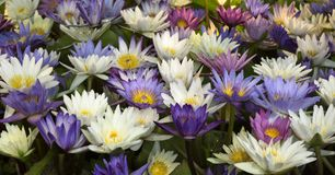 五颜六色的blosson莲花本质上 库存照片