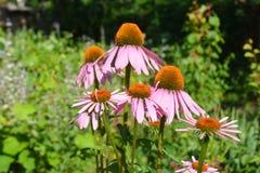 五颜六色的coneflower或紫色海胆亚目在夏天蜂友好的f 图库摄影