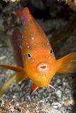 五颜六色的garibaldi鱼 免版税库存照片